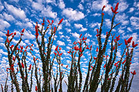 /images/133/2018-04-19-rita-morn-mi100-lq_0280.jpg - #14291: Ocotillo flowers in Green Valley, Arizona … April 2018 -- Green Valley, Arizona