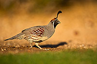 /images/133/2018-05-11-gv-quail-viv1-5d4_0009.jpg - #14303: Gambels Quail in Green Valley, Arizona … May 2018 -- Green Valley, Arizona