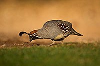 /images/133/2018-05-11-gv-quail-viv1-5d4_0018.jpg - #14304: Gambels Quail in Green Valley, Arizona … May 2018 -- Green Valley, Arizona