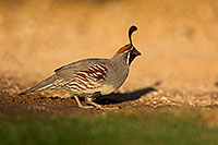 /images/133/2018-05-11-gv-quail-viv1-5d4_0044.jpg - #14307: Gambels Quail in Green Valley, Arizona … May 2018 -- Green Valley, Arizona