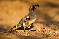 /images/133/2018-05-11-gv-quail-viv1-5d4_0072.jpg - #14308: Gambels Quail in Green Valley, Arizona … May 2018 -- Green Valley, Arizona