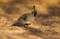 /images/133/2018-05-11-gv-quail-viv1-5d4_0119.jpg - #14309: Gambels Quail in Green Valley, Arizona … May 2018 -- Green Valley, Arizona