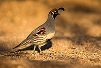 /images/133/2018-05-11-gv-quail-viv77-5d4_0071.jpg - #14311: Gambels Quail in Green Valley, Arizona … May 2018 -- Green Valley, Arizona