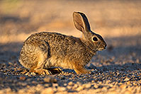 /images/133/2018-05-14-gv-cottontail-mi1-5d4_0156.jpg - #14312: Desert Cottontail in Green Valley, Arizona … May 2018 -- Green Valley, Arizona