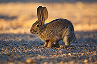 /images/133/2018-05-14-gv-cottontail-mi1-5d4_0160.jpg - #14313: Desert Cottontail in Green Valley, Arizona … May 2018 -- Green Valley, Arizona