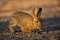 /images/133/2018-05-15-gv-bunnies-viv77-5d4_0615.jpg - #14315: Desert Cottontail in Green Valley, Arizona … May 2018 -- Green Valley, Arizona