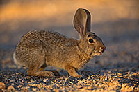 /images/133/2018-05-15-gv-bunnies-viv77-5d4_0632.jpg - #14316: Desert Cottontail in Green Valley, Arizona … May 2018 -- Green Valley, Arizona