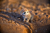 /images/133/2018-05-15-gv-creatures-viv1-5d4_0569.jpg - #14317: Baby Round Tailed Ground Squirrel … May 2018 -- Green Valley, Arizona