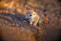 /images/133/2018-05-15-gv-creatures-viv1-5d4_0580.jpg - #14318: Baby Round Tailed Ground Squirrel … May 2018 -- Green Valley, Arizona