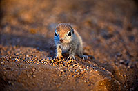 /images/133/2018-05-15-gv-creatures-viv1-5d4_0590.jpg - #14319: Baby Round Tailed Ground Squirrel … May 2018 -- Green Valley, Arizona