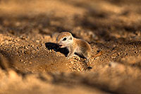 /images/133/2018-05-15-gv-creatures-viv77-5d4_0216.jpg - #14321: Baby Round Tailed Ground Squirrel … May 2018 -- Green Valley, Arizona