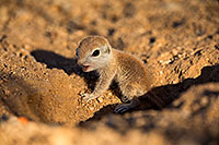 /images/133/2018-05-15-gv-creatures-viv77-5d4_0330.jpg - #14322: Baby Round Tailed Ground Squirrel … May 2018 -- Green Valley, Arizona