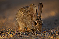 /images/133/2018-05-17-gv-cottontail-viv77-5d4_1710.jpg - #14325: Desert Cottontail in Green Valley … May 2018 -- Green Valley, Arizona