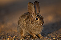 /images/133/2018-05-17-gv-cottontail-viv77-5d4_1718.jpg - #14326: Desert Cottontail in Green Valley … May 2018 -- Green Valley, Arizona
