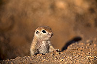 /images/133/2018-05-17-gv-creatures-mi1-5d4_1050.jpg - #14327: Baby Round Tailed Ground Squirrel … May 2018 -- Green Valley, Arizona