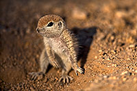 /images/133/2018-05-17-gv-creatures-mi1-5d4_1192.jpg - #14329: Baby Round Tailed Ground Squirrel … May 2018 -- Green Valley, Arizona