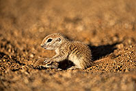 /images/133/2018-05-17-gv-creatures-mi1-5d4_1389.jpg - #14330: Baby Round Tailed Ground Squirrels playing … May 2018 -- Green Valley, Arizona