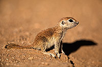 /images/133/2018-05-17-gv-creatures-mi77-5d4_0839.jpg - #14331: Baby Round Tailed Ground Squirrel … May 2018 -- Green Valley, Arizona