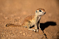 /images/133/2018-05-17-gv-creatures-mi77-5d4_0843.jpg - #14332: Baby Round Tailed Ground Squirrel … May 2018 -- Green Valley, Arizona