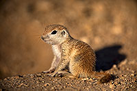 /images/133/2018-05-17-gv-creatures-mi77-5d4_1123.jpg - #14333: Baby Round Tailed Ground Squirrel … May 2018 -- Green Valley, Arizona