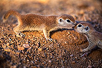 /images/133/2018-05-17-gv-creatures-viv1-5d4_1208.jpg - #14334: Baby Round Tailed Ground Squirrels playing … May 2018 -- Green Valley, Arizona