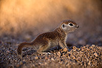/images/133/2018-05-17-gv-creatures-viv1-5d4_1222.jpg - #14335: Baby Round Tailed Ground Squirrel … May 2018 -- Green Valley, Arizona