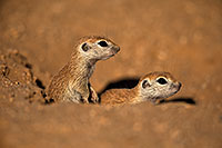 /images/133/2018-05-17-gv-creatures-viv50-11-5d4_0906.jpg - #14336: Baby Round Tailed Ground Squirrels … May 2018 -- Green Valley, Arizona