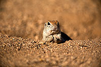 /images/133/2018-05-17-gv-creatures-viv50-5d4_0777.jpg - #14337: Relaxed Round Tailed Ground Squirrel … May 2018 -- Green Valley, Arizona