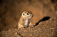 /images/133/2018-05-17-gv-creatures-viv50-5d4_0965.jpg - #14338: Baby Round Tailed Ground Squirrel … May 2018 -- Green Valley, Arizona