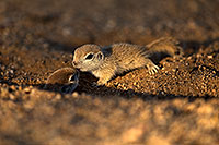 /images/133/2018-05-17-gv-creatures-viv50-5d4_1599.jpg - #14340: Baby Round Tailed Ground Squirrels playing … May 2018 -- Green Valley, Arizona