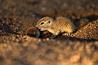 /images/133/2018-05-17-gv-creatures-viv50-5d4_1610.jpg - #14341: Baby Round Tailed Ground Squirrels playing … May 2018 -- Green Valley, Arizona
