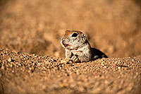 /images/133/2018-05-17-gv-creatures-viv77-5d4_0819.jpg - #14343: Relaxed Round Tailed Ground Squirrel … May 2018 -- Green Valley, Arizona