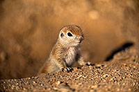/images/133/2018-05-17-gv-creatures-viv77-5d4_0949.jpg - #14344: Baby Round Tailed Ground Squirrel … May 2018 -- Green Valley, Arizona