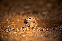 /images/133/2018-05-17-gv-creatures-viv77-5d4_1487.jpg - #14345: Baby Round Tailed Ground Squirrel … May 2018 -- Green Valley, Arizona