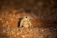 /images/133/2018-05-17-gv-creatures-viv77-5d4_1503.jpg - #14346: Baby Round Tailed Ground Squirrel … May 2018 -- Green Valley, Arizona