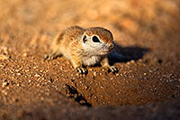 /images/133/2018-05-18-gv-creatures-mi1-5d4_2293.jpg - #14347: Baby Round Tailed Ground Squirrel … May 2018 -- Green Valley, Arizona