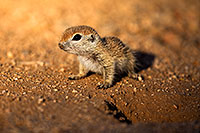 /images/133/2018-05-18-gv-creatures-mi1-5d4_2301.jpg - #14348: Baby Round Tailed Ground Squirrel … May 2018 -- Green Valley, Arizona