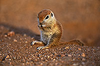 /images/133/2018-05-18-gv-creatures-mi1-5d4_2421.jpg - #14349: Baby Round Tailed Ground Squirrel standing up … May 2018 -- Green Valley, Arizona