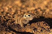 /images/133/2018-05-18-gv-creatures-mi1-5d4_2650.jpg - #14350: Baby Round Tailed Ground Squirrel … May 2018 -- Green Valley, Arizona