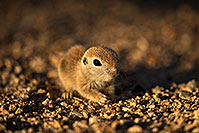 /images/133/2018-05-18-gv-creatures-mi1-5d4_2824.jpg - #14351: Baby Round Tailed Ground Squirrel … May 2018 -- Green Valley, Arizona