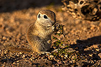 /images/133/2018-05-19-gv-creatures-mi1-5d4_2932.jpg - #14352: Baby Round Tailed Ground Squirrel eating Creosote Bush … May 2018 -- Green Valley, Arizona