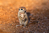 /images/133/2018-05-19-gv-creatures-viv1-5d4_3182.jpg - #14353: Baby Round Tailed Ground Squirrel standing up … May 2018 -- Green Valley, Arizona