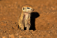 /images/133/2018-05-19-gv-creatures-viv77-5d4_2950.jpg - #14354: Baby Round Tailed Ground Squirrel … May 2018 -- Green Valley, Arizona