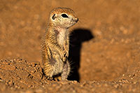 /images/133/2018-05-19-gv-creatures-viv77-5d4_2951.jpg - #14355: Baby Round Tailed Ground Squirrel standing up … May 2018 -- Green Valley, Arizona