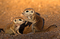 /images/133/2018-05-19-gv-creatures-viv77-5d4_3111.jpg - #14356: Baby Round Tailed Ground Squirrels … May 2018 -- Green Valley, Arizona