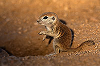 /images/133/2018-05-19-gv-creatures-viv77-5d4_3116.jpg - #14357: Baby Round Tailed Ground Squirrel … May 2018 -- Green Valley, Arizona