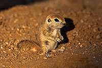 /images/133/2018-05-19-gv-creatures-viv77-5d4_3306.jpg - #14358: Baby Round Tailed Ground Squirrel standing up … May 2018 -- Green Valley, Arizona