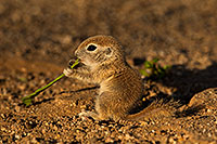 /images/133/2018-05-19-gv-creatures-viv77-5d4_3449.jpg - #14359: Baby Round Tailed Ground Squirrel with Mesquite beans … May 2018 -- Green Valley, Arizona