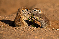 /images/133/2018-05-20-gv-creatures-mi77-5d4_4075.jpg - #14361: Baby Round Tailed Ground Squirrel … May 2018 -- Green Valley, Arizona