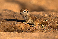 /images/133/2018-05-20-gv-creatures-viv77-5d4_3931.jpg - #14362: Baby Round Tailed Ground Squirrel standing up … May 2018 -- Green Valley, Arizona